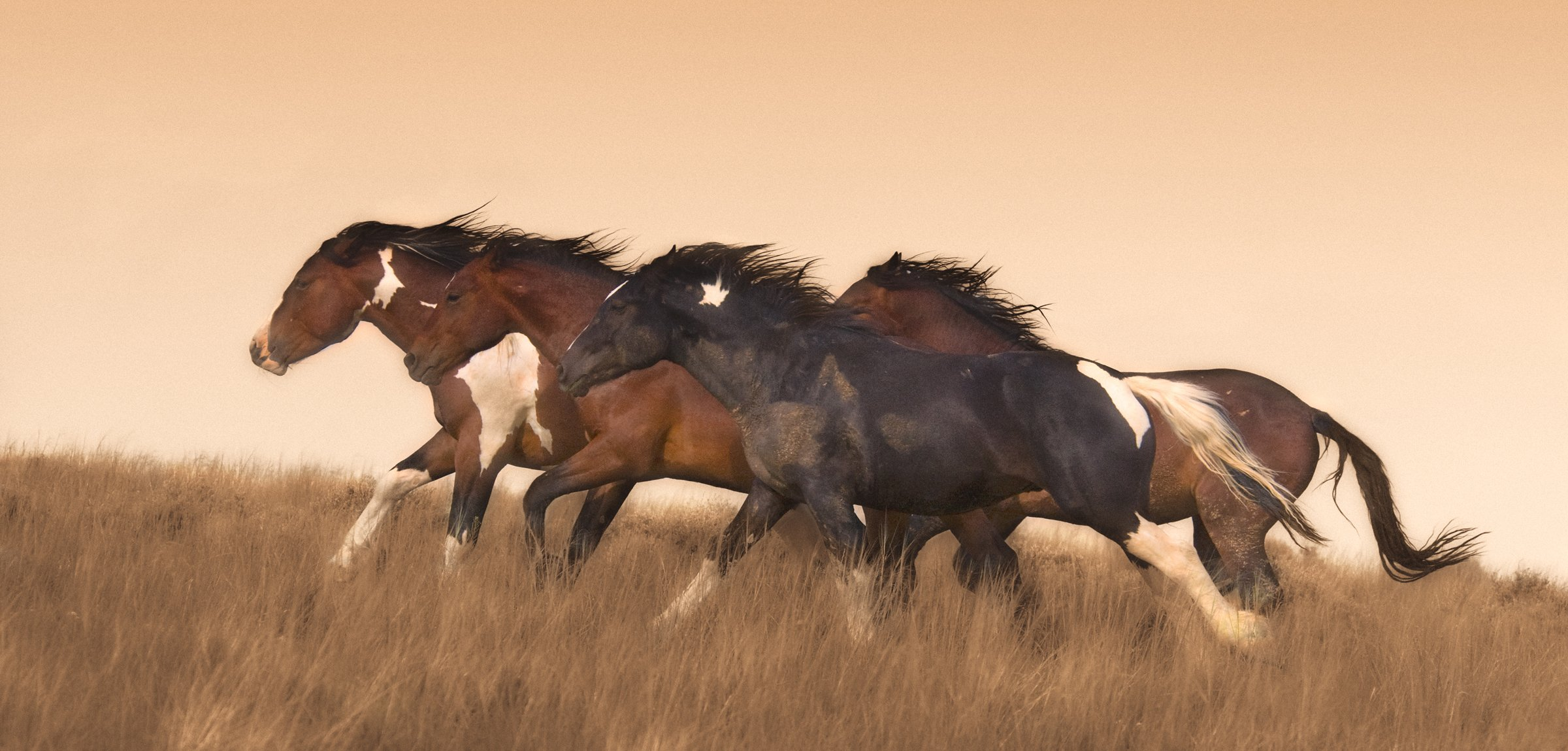 Wild horse print of stallions McCullough Peaks, Wyoming